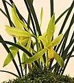 春蘭月佩素 Cymbidium goeringii 'Moon-Jade Plain' -台南國際蘭展 Taiwan International Orchid Show- (40858647271).jpg