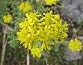 景天屬 Sedum stenopetalum -波蘭 Krakow Jagiellonian University Botanic Garden, Poland- (36687351976).jpg