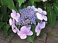 澤繡球(澤八仙) Hydrangea serrata Blue Wave -英格蘭 Keswick, England- (9200931734).jpg