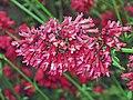炮仗仔(毛炮仗花) Russelia sarmentosa -香港動植物公園 Hong Kong Botanical Garden- (9207615860).jpg