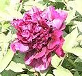 牡丹-冠群芳 Paeonia suffruticosa 'All-Flower Champion' -菏澤百花園 Heze, China- (12427795955).jpg