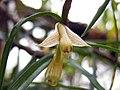 石斛蘭屬 Dendrobium pachyglossum -香港嘉道理農場 Kadoorie Farm, Hong Kong- (9673309728).jpg
