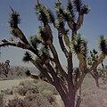 約書亞樹 Yucca brevifolia - panoramio.jpg