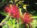 紅粉撲花 Calliandra emarginata -日本大阪鮮花競放館 Osaka Sakuya Konohana Kan, Japan- (40320281500).jpg