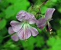 老鸛草屬 Geranium x cantabrigiense Cambridge -英格蘭 Wisley Gardens, England- (9158240898).jpg