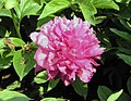 芍藥-大富貴 Paeonia lactiflora 'Big Wealth' -北京植物園 Beijing Botanical Garden, China- (12380137345).jpg