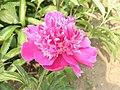 芍藥-桃花爭春 Paeonia lactiflora 'Peaches Blossoming in Spring' -瀋陽植物園 Shenyang Botanical Garden, China- (12380140245).jpg