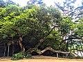 도산서원 앞마당 소나무.jpg