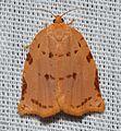 - 3662 – Southern Ugly-nest Caterpillar Moth – Archips rileyana (19118825725).jpg