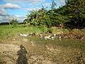 0006jfLandscapes Ducks Grass Roads Maronquillo San Rafael Bulacanfvf 03.JPG
