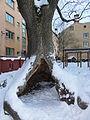 02 sockerdricksträd1.JPG