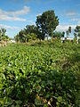 04506jfDomesticated Water Hyacinth Pescadores Poblacion Candaba Pampangafvf 03.JPG