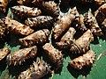 05005jfPulilan Resort Bulacan caterpillars Havenfvf 08.JPG