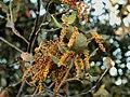 066quercus rotundifolia.JPG