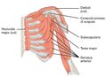 1119 Muscles that Move the Humerus c.png