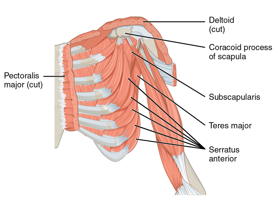 Subscapularis muscle - eAnswers