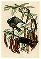 146 Fish Crow.jpg