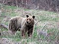 1 Brown Bear.jpg