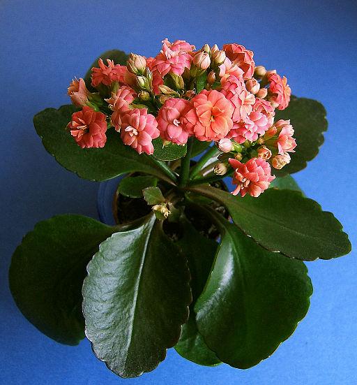2007-03-19Kalanchoe blossfeldiana01