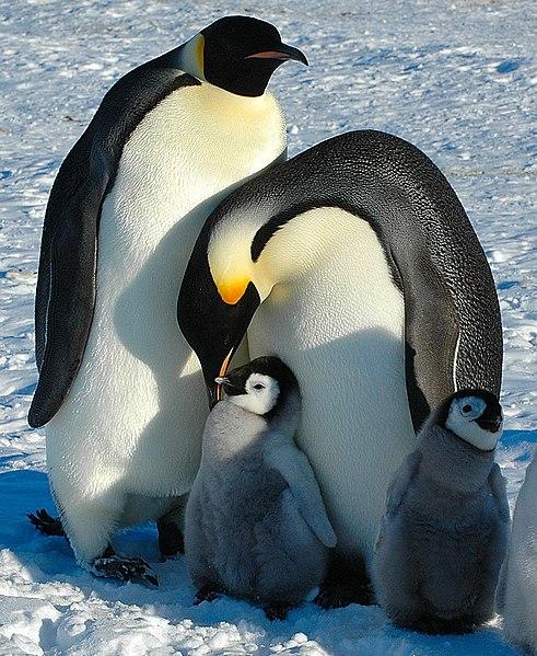 pinguim imperador