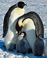 2007 Snow-Hill-Island Luyten-De-Hauwere-Emperor-Penguin-111.jpg