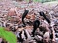 2011-02-21 Geoglossum nigritum Cooke 135316.jpg