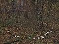 2011-11-07 Infundibulicybe geotropa 180122.jpg