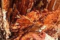 2011. Decay in a Douglas-fir from Phaeolus schweinitzii, brown cubicle butt rot. (38723506535).jpg