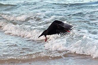 Sooty oystercatcher - Image: 20110821 Sooty Oystercatcher in flight 1 of 3