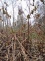 20131208Reynoutria japonica2.jpg