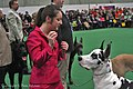 2013 Westminster Kennel Club Dog Show- Great Dane (8469035436).jpg