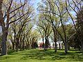 2014-05-02 13 56 17 Siberian Elm grove in the Elko City Park.JPG