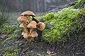 20141128 042 Well Wandeling Reindersmeer Paddenstoel Maasduinen (15714990107).jpg