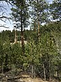 2015-04-30 16 29 53 Ponderosa Pine saplings along the Trail Canyon Trail in the Mount Charleston Wilderness, Nevada about 1.1 miles north of the trailhead.jpg