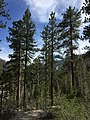 2015-04-30 16 31 31 View south down the Trail Canyon Trail in the Mount Charleston Wilderness, Nevada about 1.0 miles north of the trailhead.jpg