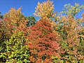 2015-10-11 16 39 08 Black Tupelo and other trees changing color in autumn near the southern end of the Fairfax County Parkway (Virginia State Route 286) near Fort Belvoir, Virginia.jpg