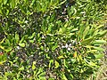 2017-09-04 12 37 12 Northern Bayberry leaves and fruit along the sand road leading to Barnegat Inlet within the Southern Natural Area of Island Beach State Park, in Berkeley Township, Ocean County, New Jersey.jpg