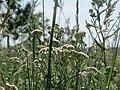 20170602Achillea millefolium3.jpg