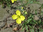 20170822Diplotaxis tenuifolia1.jpg