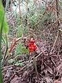 2018-08-15 Cuckoo pint, Arum maculatum, Trimingham (3).JPG