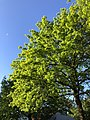 2020-05-10 18 12 55 Pin Oak leafing out in spring along Dairy Lou Drive in the Franklin Farm section of Oak Hill, Fairfax County, Virginia.jpg