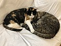 2020-05-13 00 26 59 A Calico cat and a tabby cat cuddling while sleeping on a couch in the Franklin Farm section of Oak Hill, Fairfax County, Virginia.jpg