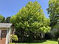 2020-05-13 13 52 09 A Red Maple in spring along Glen Taylor Lane in the Chantilly Highlands section of Oak Hill, Fairfax County, Virginia.jpg