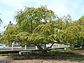 207. Urban Sprawl Spreading Tree Prescott Park (3572498283).jpg