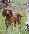 23c92fa46639529f64d8a343faf7004f--national-dog-show-redbone-coonhound.jpg