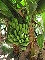 28-08-2017 Un-ripe bananas, Silves (1).JPG