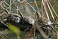 2 Mediterranean Pond Turtles (Mauremys leprosa) and European Pond Turtle (Emys orbicularis)(Right) (26060818166).jpg