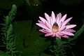 2 Nymphaea Tropical Night-Blooming Water Lily, Waterlily, Tiger Lotus (Nymphaea lotus).jpg