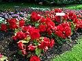 351. Tuberous Begonias PrescottPark (3572496571).jpg