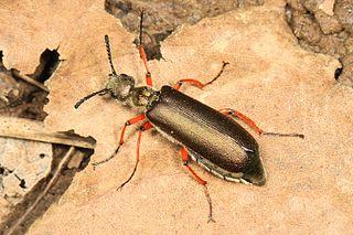 <i>Lytta</i> genus of insects